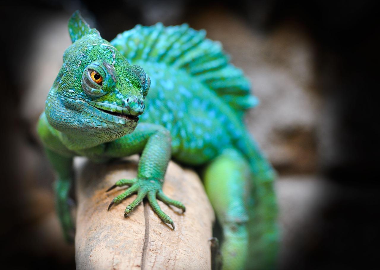 Lizards 1623404694
