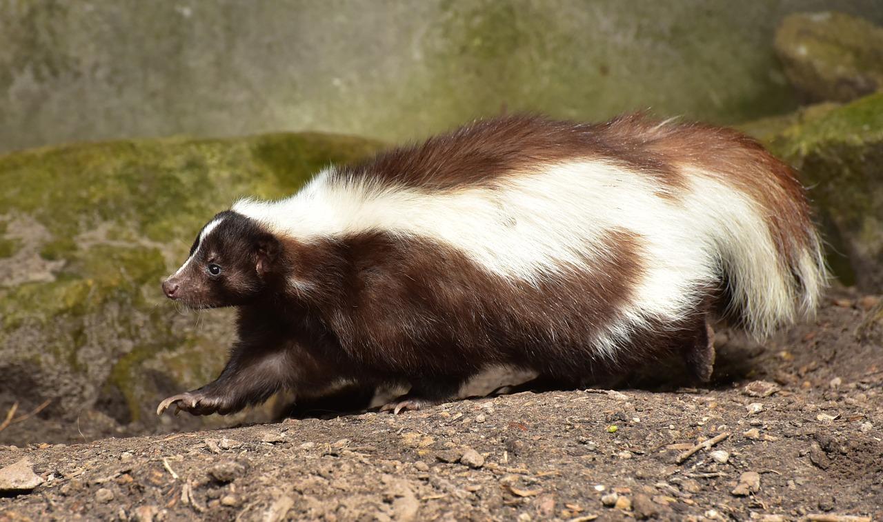Skunks 1623160268